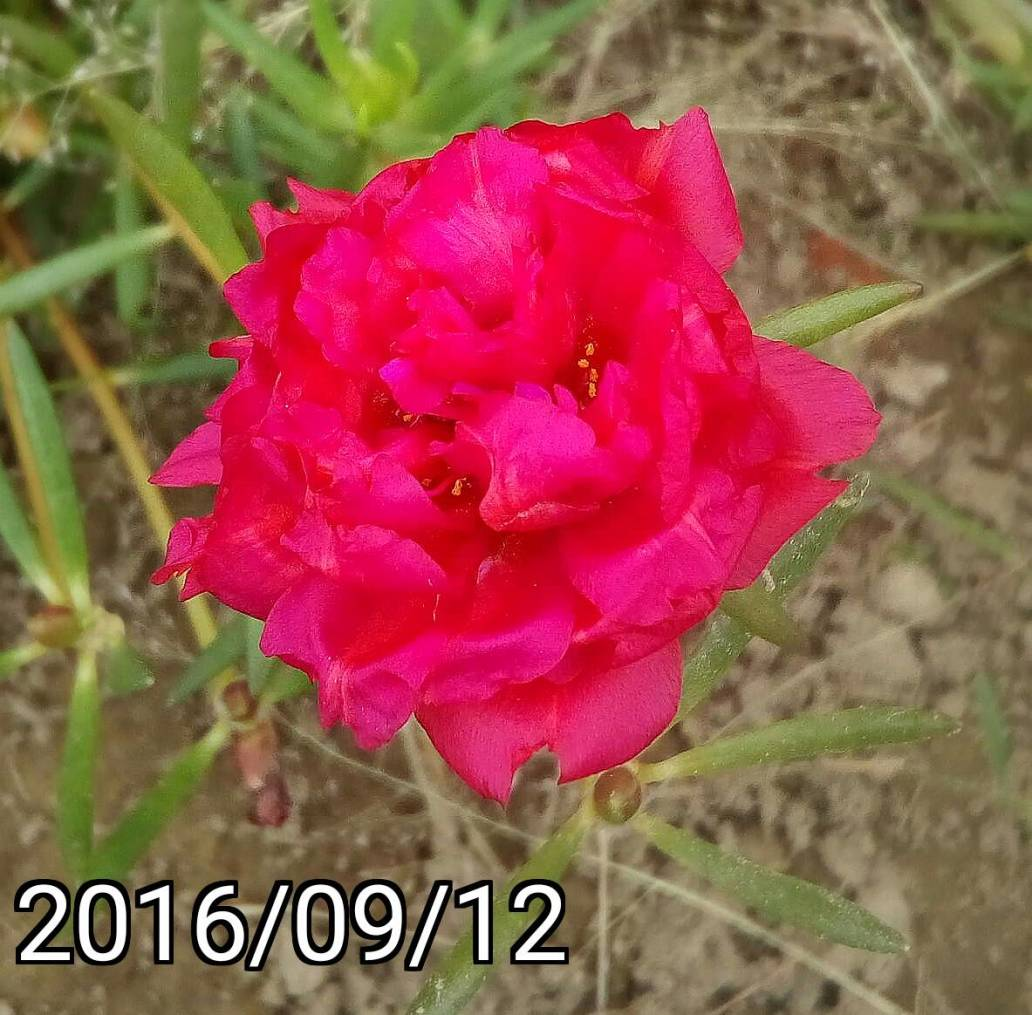 深紫紅色複瓣松葉牡丹 red fuchsia multi-petalled Portulaca pilosa, kiss-me-quick, hairy pigweed